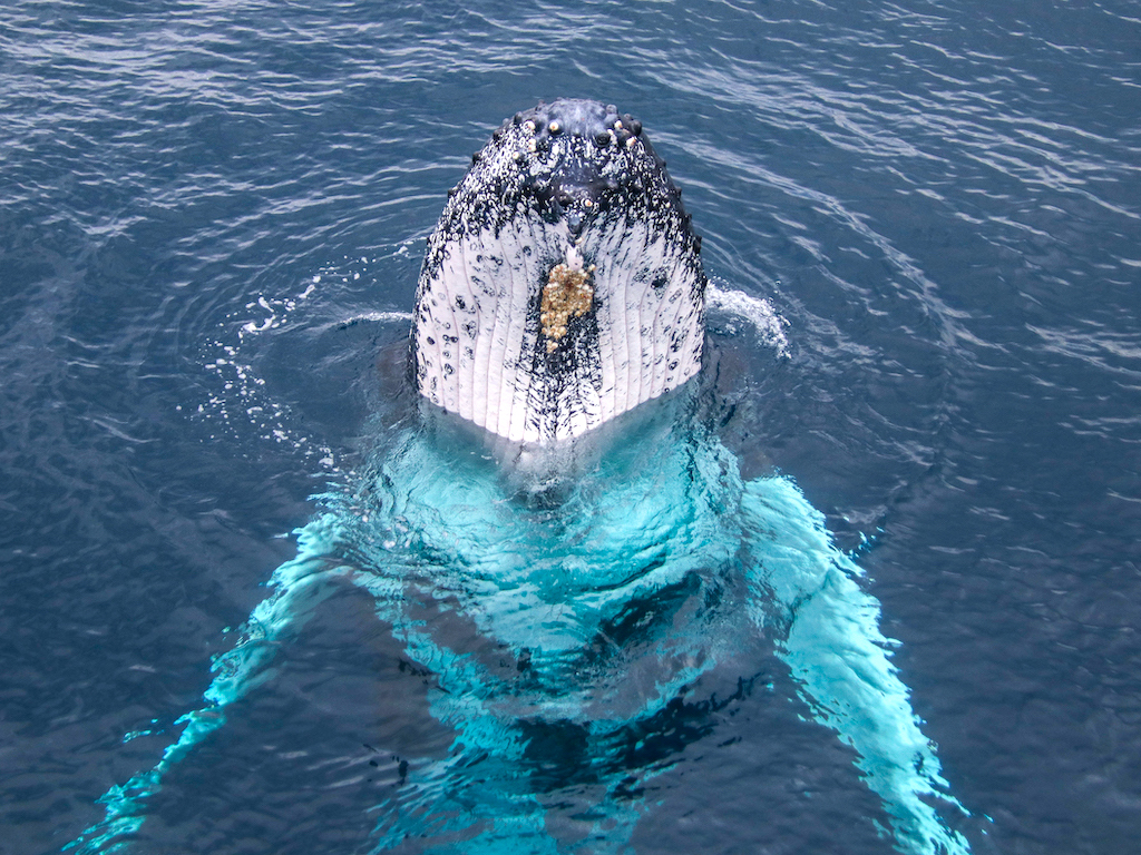 Spyhopping Humpback Whale